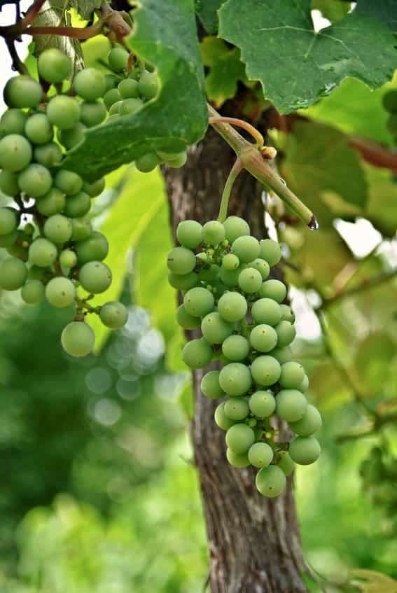 Young Muscadine Grapes