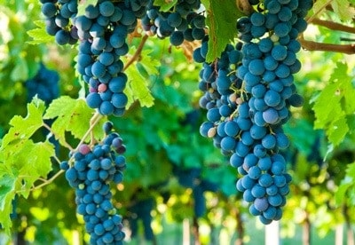 Grapes ready for winemaking