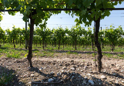 Vineyard for amarone wine
