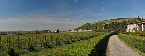 Vineyards in Italy